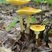 Amanita banningiana - Photo (c) jody klocko, algunos derechos reservados (CC BY-NC)