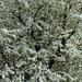 Pyrus caucasica - Photo Jebulon, sin restricciones conocidas de derechos (dominio publico)