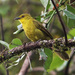 Joyful Greenbul - Photo (c) Dave Curtis, some rights reserved (CC BY-NC-ND)