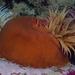 False Plum Anemone - Photo (c) Georgina Jones, some rights reserved (CC BY-SA)