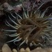 Long-tentacled Anemone - Photo (c) Georgina Jones, some rights reserved (CC BY-SA)
