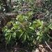 Sambucus racemosa sieboldiana - Photo (c) Keita Watanabe, algunos derechos reservados (CC BY-NC)