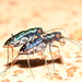 Cicindela rufiventris cumatilis - Photo (c) Buddy,  זכויות יוצרים חלקיות (CC BY-NC)
