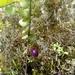 Sphyrospermum - Photo (c) wladimirpatino, algunos derechos reservados (CC BY-NC)