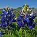 Texas Bluebonnet - Photo (c) Annika Lindqvist, some rights reserved (CC BY)