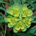 Sun Spurge - Photo (c) Kostas Zontanos, some rights reserved (CC BY-NC)