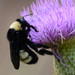 American Bumble Bee - Photo (c) Buddy, some rights reserved (CC BY-NC)