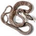 Cobra-Caracoleira-Elegante - Photo (c) Bitty A. Roy, alguns direitos reservados (CC BY-NC)