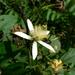 Grewia laevigata - Photo (c) Dinesh Valke, alguns direitos reservados (CC BY-NC-ND)