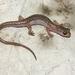Cave Splayfoot Salamander - Photo (c) 2010 Sean Michael Rovito, some rights reserved (CC BY-NC-SA)