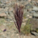 Red Brome - Photo (c) Jim Morefield, some rights reserved (CC BY)