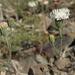 Chaenactis carphoclinia - Photo (c) Jim Morefield, algunos derechos reservados (CC BY)