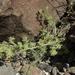 Cryptantha nevadensis - Photo (c) Jim Morefield, algunos derechos reservados (CC BY)