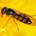 Melanostoma mellinum - Photo (c) Denis Doucet, algunos derechos reservados (CC BY-NC)