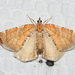 Dimorphic Eulithis Moth - Photo (c) Josh Vandermeulen, some rights reserved (CC BY-NC-ND)