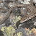Catalonian Wall Lizard - Photo (c) Pascal Dubois, some rights reserved (CC BY-NC)