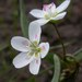Lanceleaf Spring Beauty - Photo (c) Matt Lavin, some rights reserved (CC BY-SA)