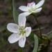 Claytonia lanceolata - Photo (c) Matt Lavin, algunos derechos reservados (CC BY-SA)