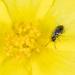 Microhoria plumbea - Photo (c) salvatore_infanti, algunos derechos reservados (CC BY-NC)