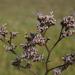 Limonium californicum - Photo (c) Jerry Kirkhart, μερικά δικαιώματα διατηρούνται (CC BY)