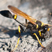 Black Mud-dauber Wasps - Photo (c) Thomas Quine, some rights reserved (CC BY)