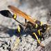 Avispas de Lodo Negras - Photo (c) Thomas Quine, algunos derechos reservados (CC BY)