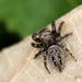 Four-dotted Grass Spider - Photo (c) Colin Chiu, some rights reserved (CC BY-NC)