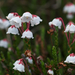 Western Moss-Heather - Photo (c) Eric in SF, some rights reserved (CC BY-NC-ND)