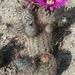 Echinocereus fitchii fitchii - Photo (c) Jaxon Rickel, μερικά δικαιώματα διατηρούνται (CC BY)