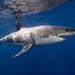 Λευκός Καρχαρίας - Photo (c) Ken Bondy, μερικά δικαιώματα διατηρούνται (CC BY-NC-SA)