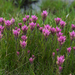 Lemmon's Indian Paintbrush - Photo (c) Eric in SF, some rights reserved (CC BY-NC-ND)