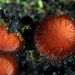 Scutellinia scutellata - Photo (c) kim fleming, algunos derechos reservados (CC BY-NC-SA)