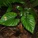 Philodendron mamei - Photo (c) Jean-Francois Brousseau, algunos derechos reservados (CC BY-NC)