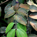Pternandra coerulescens - Photo (c) loupok, algunos derechos reservados (CC BY-NC-ND)