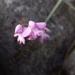 Cynorkis cardiophylla - Photo (c) Rahaingoson Fabien, osa oikeuksista pidätetään (CC BY-NC)