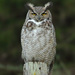 Great Horned Owl - Photo (c) Paul G. Johnson, some rights reserved (CC BY-NC-SA)
