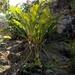 Anthurium halmoorei - Photo (c) Maribel Guel Araujo, algunos derechos reservados (CC BY-NC)