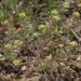 Alyssum desertorum - Photo (c) Jim Morefield,  זכויות יוצרים חלקיות (CC BY)