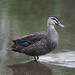 Pacific Black Duck - Photo (c) Jenny Donald, some rights reserved (CC BY-NC)