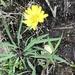 Ixeris japonica - Photo (c) biobank-lantauhk, algunos derechos reservados (CC BY-NC)