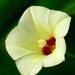 Xenostegia tridentata - Photo (c) Jkadavoor (Jee), algunos derechos reservados (CC BY-NC-SA)