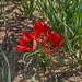 Tulipa agenensis - Photo (c) Zachi Evenor, osa oikeuksista pidätetään (CC BY)