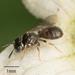 Ceratina arizonensis - Photo ללא זכויות יוצרים