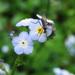 Myosotis latifolia - Photo (c) Dawn Endico, algunos derechos reservados (CC BY-SA)