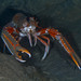 Norway Lobster - Photo (c) Poul Erik Rasmussen, some rights reserved (CC BY-NC)