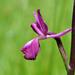 Anacamptis laxiflora - Photo (c) Peter Zschunke, osa oikeuksista pidätetään (CC BY-NC)