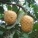 Annona senegalensis - Photo (c) Ton Rulkens, algunos derechos reservados (CC BY-SA)