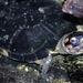 Black Marsh Turtle - Photo (c) Bernard DUPONT, some rights reserved (CC BY-NC-SA)