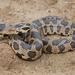 Eastern Foxsnake - Photo (c) Josh Vandermeulen, some rights reserved (CC BY-NC-ND)