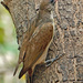 Greater Honeyguide - Photo (c) gisela gerson lohman-braun, some rights reserved (CC BY-SA)